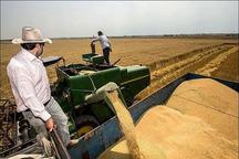 برداشت گندم از مزارع شهرستان ورامین آغاز شد