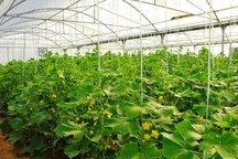 برداشت محصولات گلخانه ای در میرجاوه آغاز شد