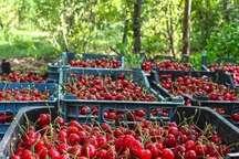تولید 7 هزار تن گیلاس از باغ های خراسان شمالی