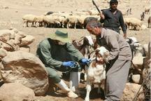 آغاز مرحله دوم واکسیناسیون رایگان تب برفکی در جمعیت دام سنگین استان کرمانشاه