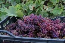 800 تن انگور از تاکستانهای دزفول برداشت شد