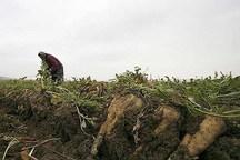 معرفی ارقام جدید چغندرقند در همدان استفاده 38 درصد مزارع از بذرهای اصلاح شده
