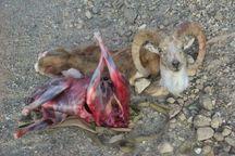 شکارچیان قوچ وحشی در دامغان متواری شدند