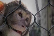 زندهگیری دومین میمون متواری در منطقه آبینام سیاهکل