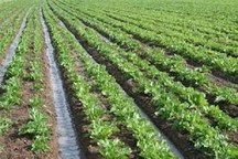 قابلیت کشت نشایی بیشتر محصول زراعی در استان یزد وجود دارد