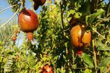 2 هزار و 400 تن انار در خور و بیابانک تولید می شود