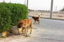 1300 قلاده سگ در بوشهر زنده گیری شد