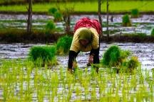 کاهش ۴۰ درصدی کشت برنج در استان کهگیلویه و بویراحمد