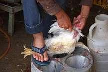 6 ماه حبس، جریمه توزیع کننده های مرغ زنده در هرسین