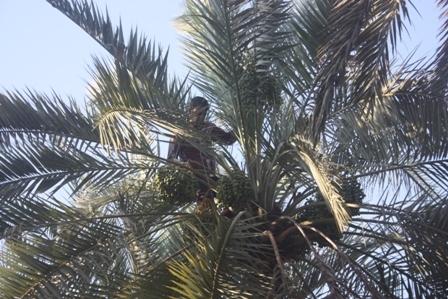 آغاز خوشه بندی درختان خرما در بیش از 2 هزار هکتار از نخلستان های خنج
