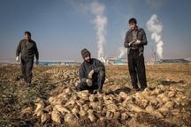 21 هزار تُن چغندرقند در شاهین دژ برداشت شد