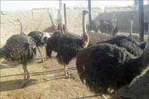 روزنامه محلی: پرورش شترمرغ؛ صنعتی پر رونق در سیستان و بلوچستان