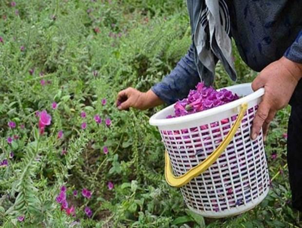 گلستان، بهشت تولید گیاهان دارویی