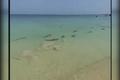 فیلمی از حضور کوسهها در ساحل جزیره کیش