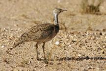 کشف بزرگترین شبکه قاچاق پرنده هوبره در فارس  فروش پرندگان برای لذتجویی شیوخ عرب
