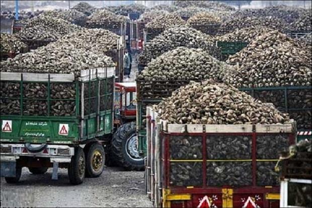 82 هزار تُن چغندر به کارخانه های قند مهاباد تحویل داده شد