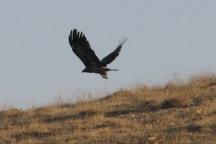 یک بهله عقاب طلایی در آران و بیدگل رهاسازی شد