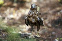 رهاسازی پنج بال کبک و یک بهله عقاب طلایی در طبیعت لرستان