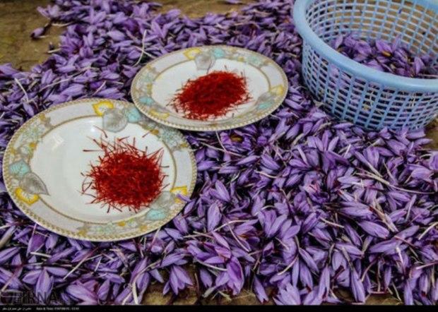 رشد 25 درصدی تولید سَرگل زعفران در گلستان