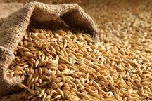 35 هزارتن گندم از کشاورزان لرستان خریداری شد