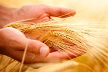 خرید 6 هزار تن بذر گندم در آذربایجان غربی