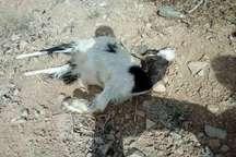 حمله گربه وحشی در فخر آباد مهریز هفت گوسفند را تلف کرد