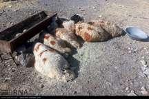 12 گروه دامپزشکی در سنندج بر ذبح دام های عید قربان نظارت می کنند