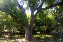 ثبت 9 درخت کهنسال استان قزوین در فهرست ملی میراث طبیعی کشور