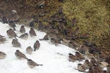 صیاد متخلف در خلیل آباد به پاشیدن دان برای پرندگان وحشی محکوم شد