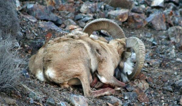 کشف لاشه قوچ وحشی در ارتفاعات فاروج