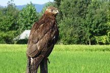 تحویل عقاب طلایی مصدوم به محیط زیست گرگان