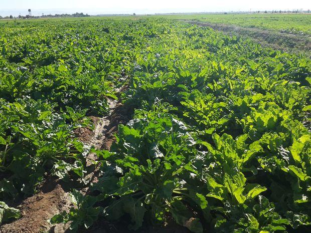 افزایش یکهزار هکتاری مزارع زیرکشت چغندرقند شوش