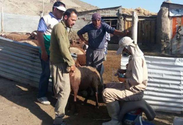 بسیجیان جهادگر ۱۴ هزار راس دام روستایی را در برابر بیماریها ایمنسازی کردند