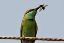 پرنده سبزقبایی و زنبورخوار کام زنبوداران خوزستانی را تلخ کرد