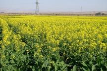 سهم استان کردستان در کشت دانههای روغنی ۵۰۰۰ هکتار است