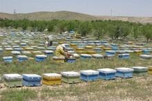 زهر زنبور عسل در شیروان باید تجاری سازی شود