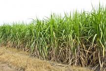 99 هزار تن شکر در کشت و صنعت میرزا کوچک خان تولید شد