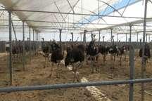 وجود چهار واحد پرورش شترمرغ با ظرفیت سالانه 141 قطعه مولد در کردستان
