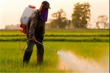 ۲۵۶ کارشناس مبارزه با سن غلات در زمان داشت گندم از مزارع مراقبت میکنند