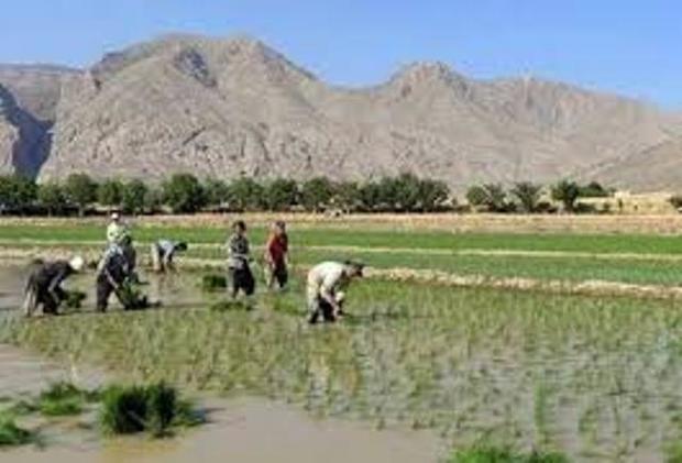 تیرخلاص کشت دوم برنج درمازندران به کالبد طبیعت