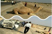 مرگ راننده پراید و شتر در مجور کنگان-بوشهر