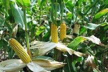 4200 هکتار از زمین های زراعی هرمزگان زیر کشت ذرت دانه ای قرار گرفت