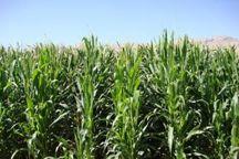 اردبیل از استان های برتر تولید بذر کشوراست