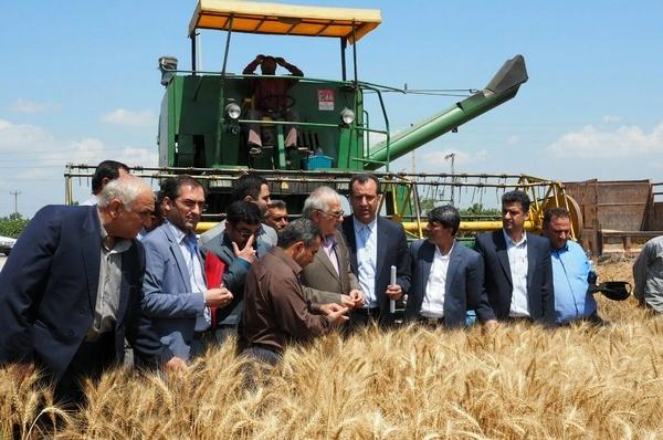 خریداری 35 هزار تن گندم در مازندران