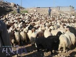 افزایش راندمان تولید مثل و دورگ گیری در گله های گوسفند لرستان
