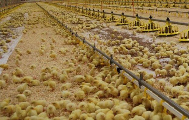 جوجه ریزی مرغداران شیروان افزایش یافت