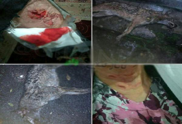حمله شغال و مجروح شدن مادر و پسر تالشی  هلاکت حیوان با چماق
