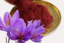 تولید زعفران در خوشاب کاهش یافت