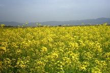 42 درصد کلزای استان قزوین در مزارع کشاورزی آبیک تولید می شود