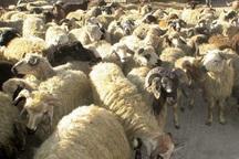 1.6 میلیارد ریال گوسفند قاچاق در مهریز کشف شد